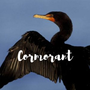 Cormorant Audio Drama from Wireless Theatre